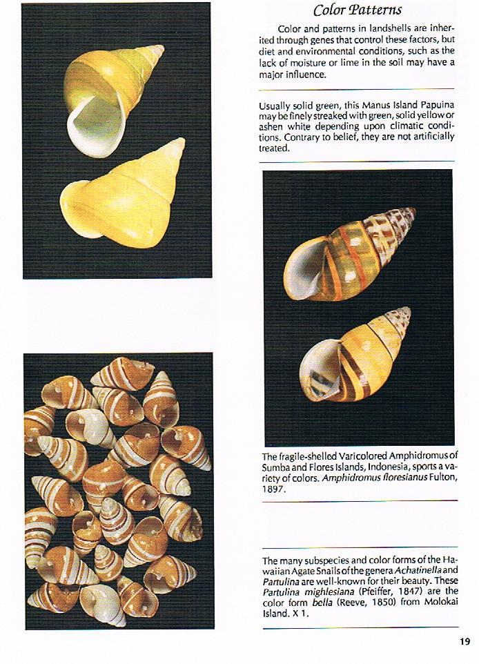Papuina pulcherrima (Rensch, 1931) - Page 2 Compen10