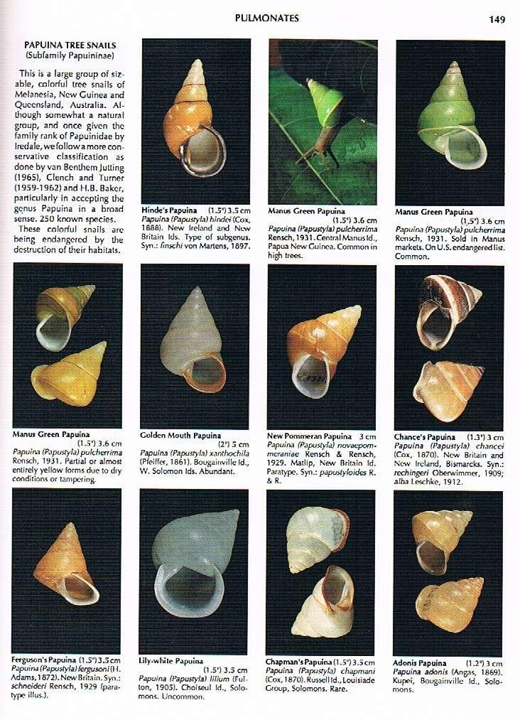 Papuina pulcherrima (Rensch, 1931) - Page 2 Compen11