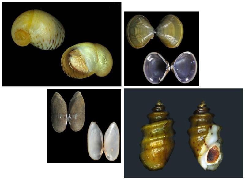 Propositions & avancées dans le forum des mollusques continentaux. - Page 6 Dulcic10