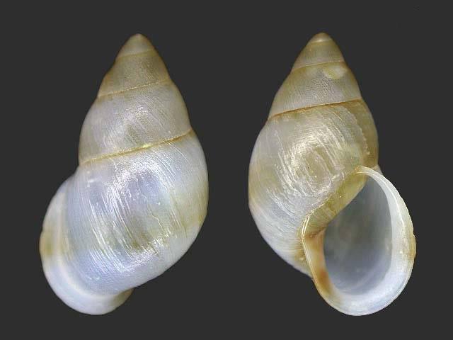 Propositions & avancées dans le forum des mollusques continentaux. - Page 4 Partul11