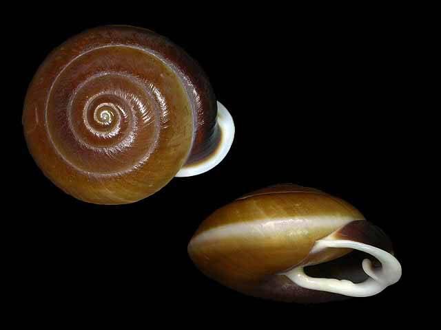 Propositions & avancées dans le forum des mollusques continentaux. - Page 6 Pleuro10