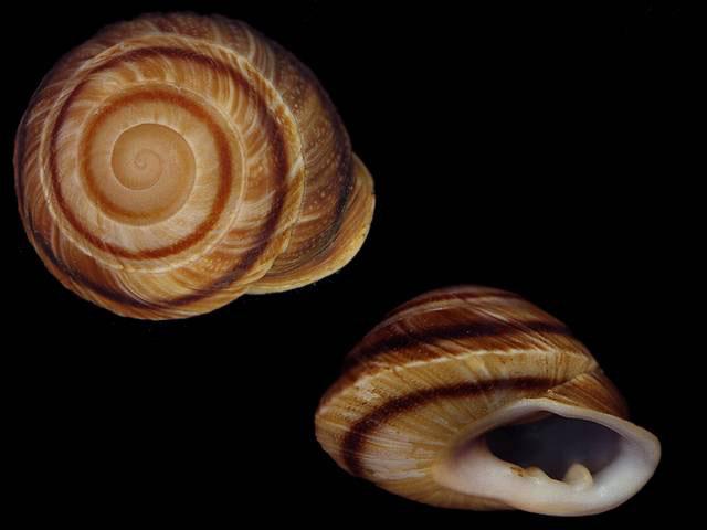 Propositions & avancées dans le forum des mollusques continentaux. - Page 6 Pleuro11