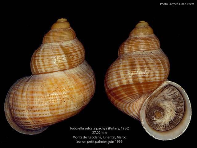 Tudorella sulcata (Draparnaud,1801) Pomati10