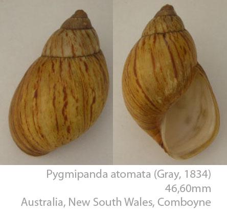 Caryodidae, une famille endémique d'Australie Pygmip10