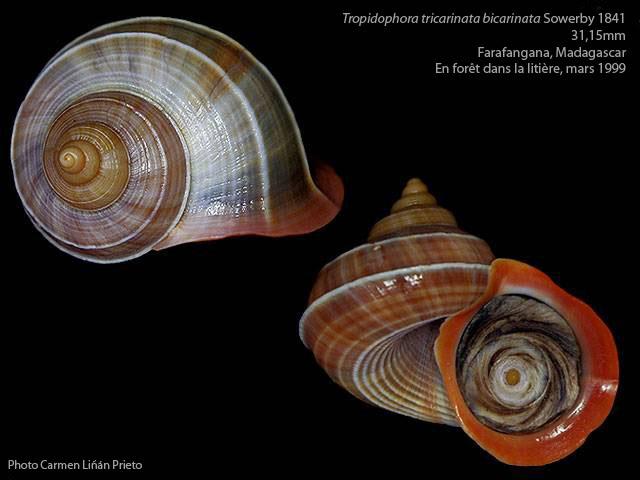 Tropidophora tricarinata var. bicarinata (Sowerby 1843) Tropid13