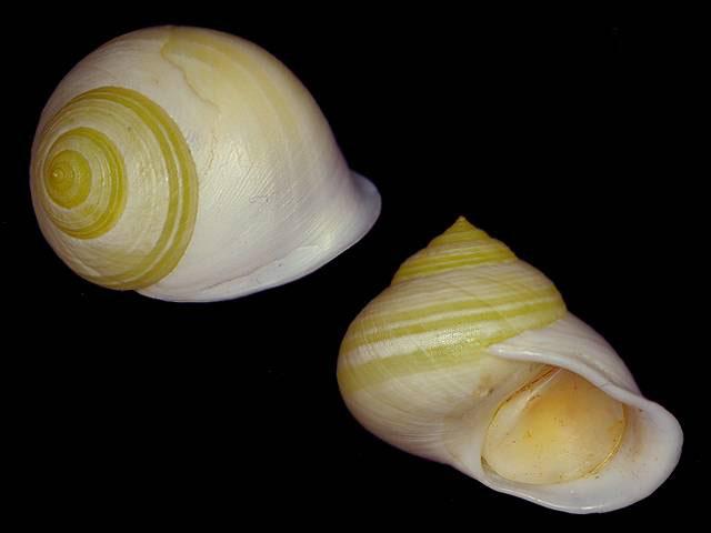 Propositions & avancées dans le forum des mollusques continentaux. - Page 4 Viana_10