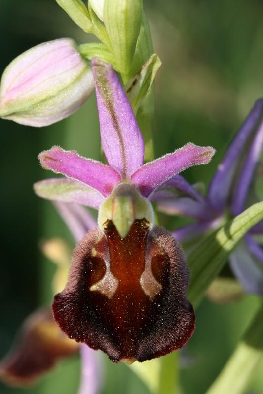 Ophrys morisii (Ophrys de moris ) 315op_10