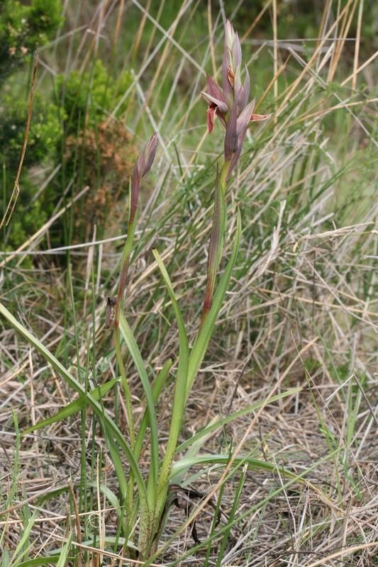 Serapias nurrica ( Sérapias de Nurra ) 449ser10