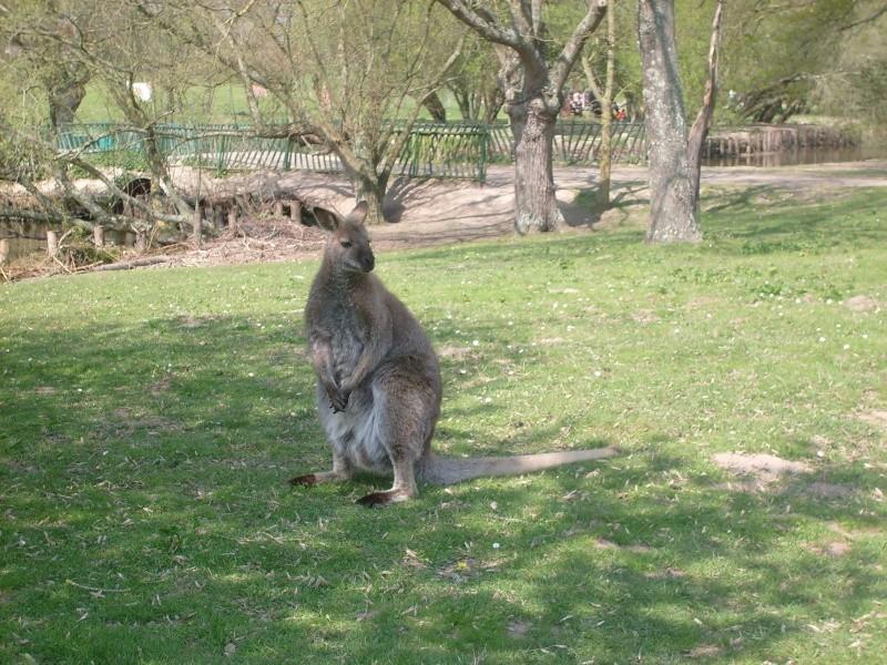 Wallaby de Benett [Macropus rufogriseus] S7302210