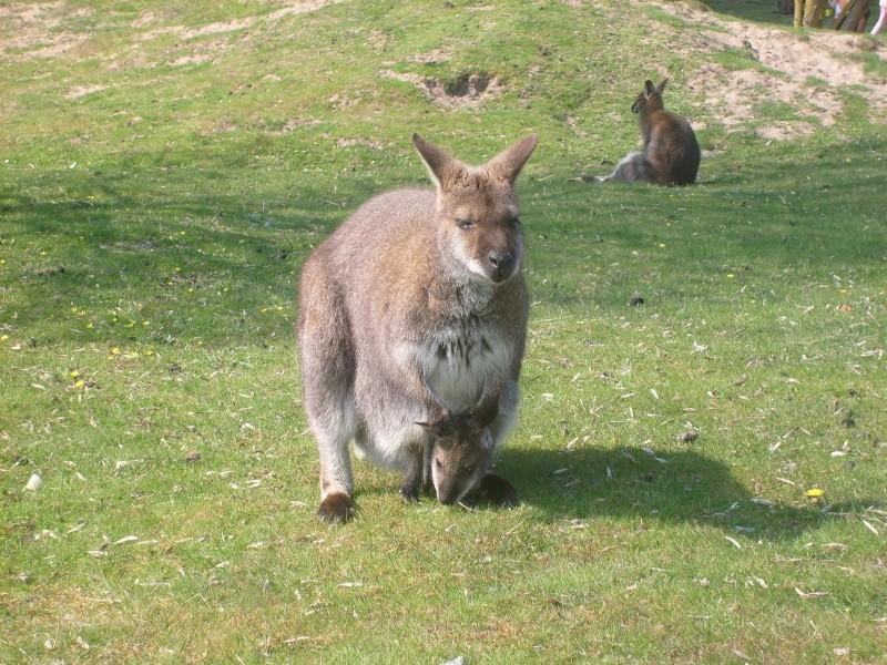 Wallaby de Benett [Macropus rufogriseus] S7302211