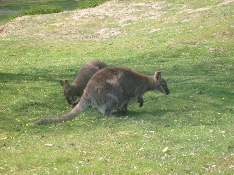 Wallaby de Benett [Macropus rufogriseus] S7302212