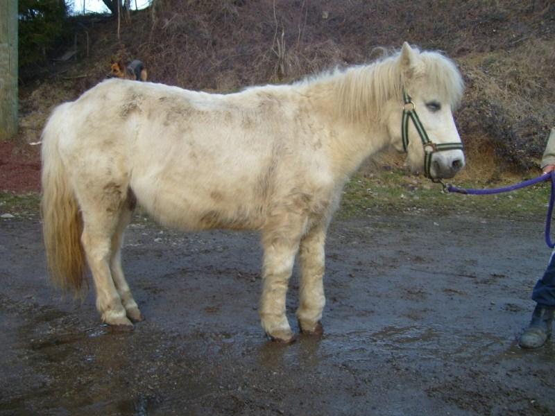 NEIGE - Shetland présumée née en 1986 - gardée par sa propriétaire S7002018