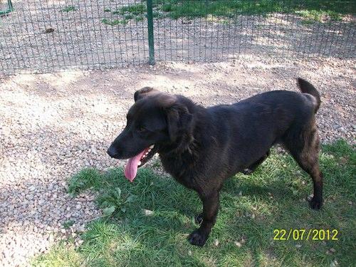 BINGO  -  croisé Labrador noir 10 ans   (7 ans de refuge)  Spa du Roannais à Roanne (42) 12072510
