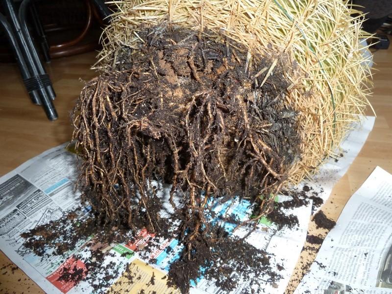 Angraecum veitchii aus dem Baumarkt Echino18