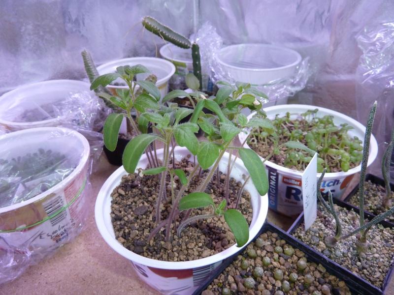 Solanaceae - Tomaten & Chili, aber auch Petunien und andere Schönheiten ;) Tomate10