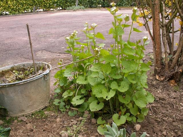 Alliaria petiolata - alliaire Alliar10