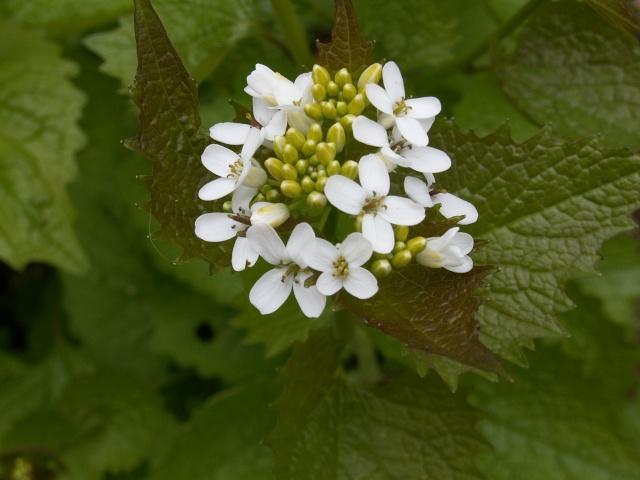 Alliaria petiolata - alliaire Alliar12