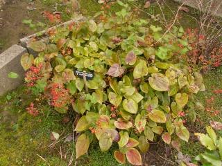 Les plantes couvre-sol - Page 2 Epimed10