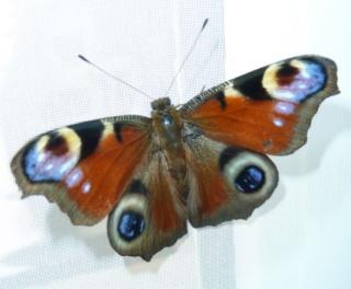 Ma passion de l'entomologie. - Page 6 P1030414