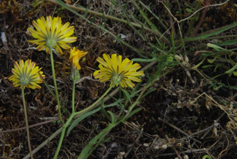 Plantes des dunes (Petrorhagia) 110