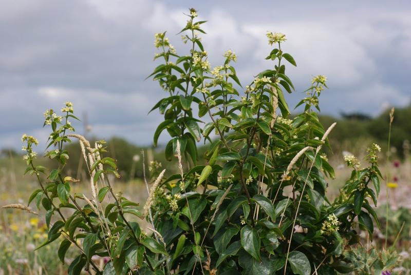 Plantes des dunes (Petrorhagia) 2_110