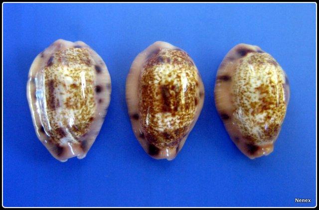 Erronea caurica samoensis - Lorenz, 2002 Img_0040