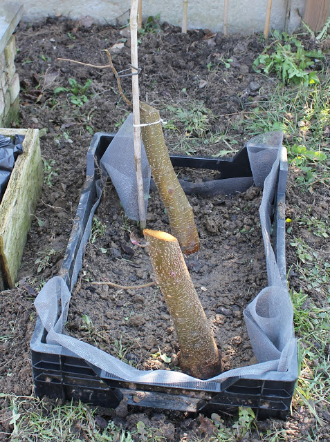 Alder sticks collected and planted out in my garden Img_7711