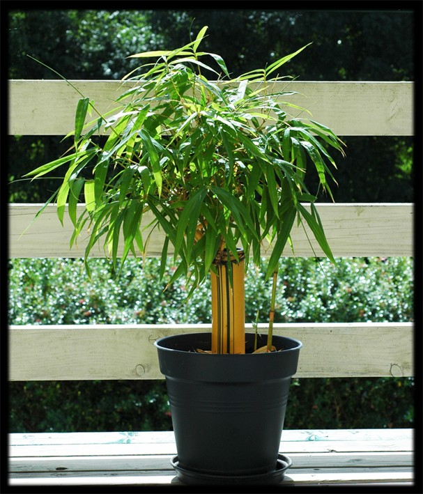 Bambusa vulgaris striata Bambus12