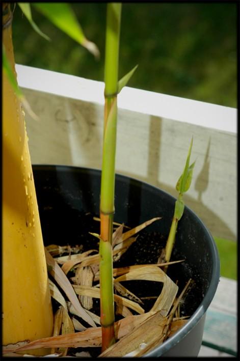 Bambusa vulgaris striata Bambus13