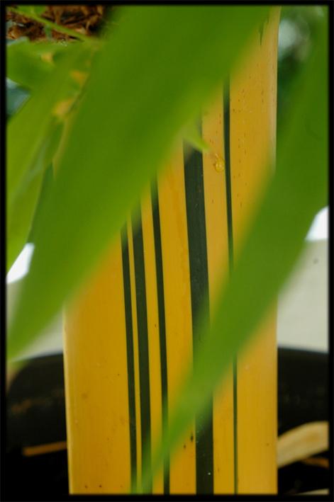Bambusa vulgaris striata Bambus14