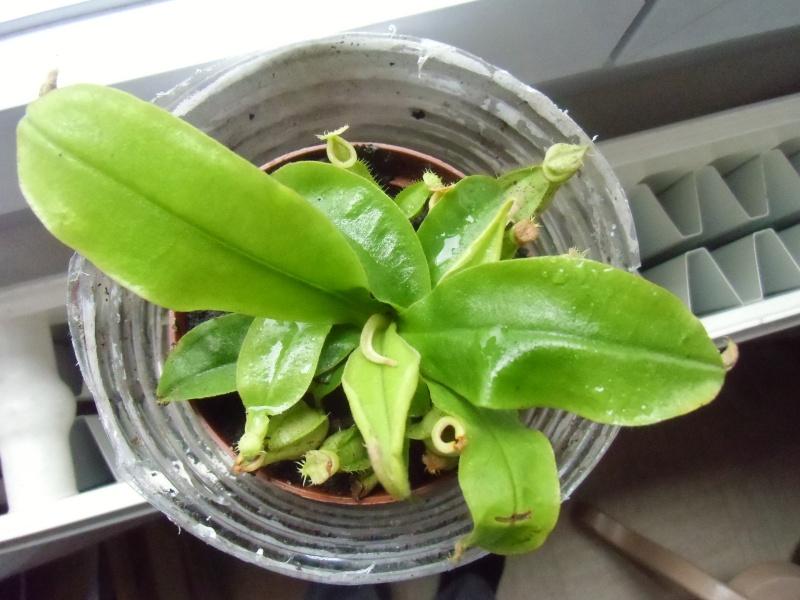 mes plantes carnivores a moi Cimg0118