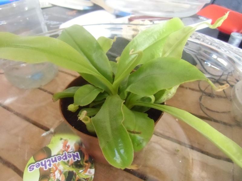 mes plantes carnivores a moi Cimg0322