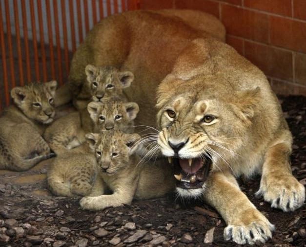 Пополнение в львином семействе  Dddddd38