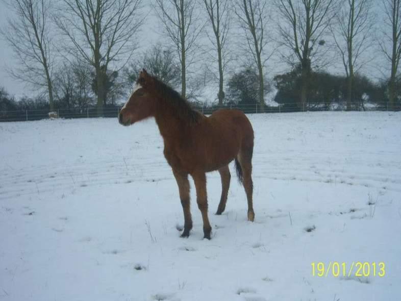 """jusqu'au 24 mars pour voter pour le concours photo """" vos chevaux dans la neige 2013 """" n°2 Cayenn12"""