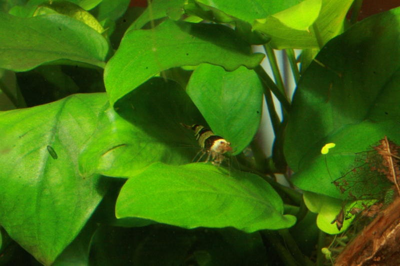 Aquariums 84 Litres +30 Litres Crevettes Taiwan bee f1 Mixt - Page 3 Photo_10