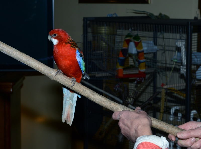 Perte importante de plumes chez Kiwi Omnico13