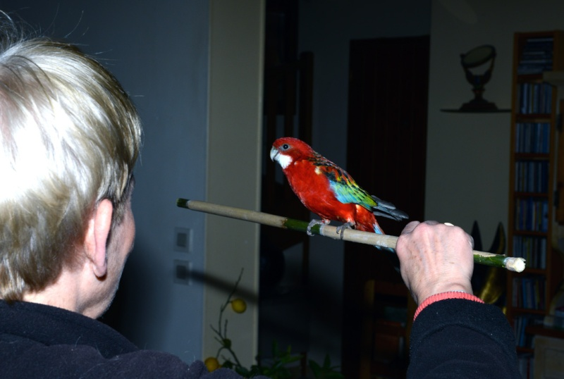 Perte importante de plumes chez Kiwi Omnico14