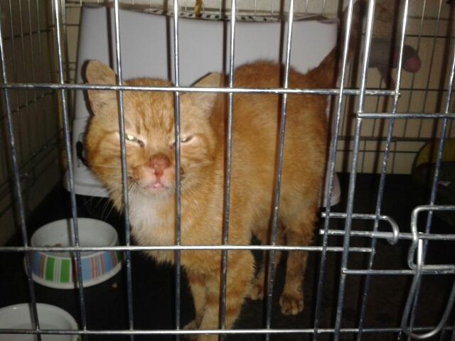 Garfield, Mâle européen (01/01/2007) - FIV+ Photo_23