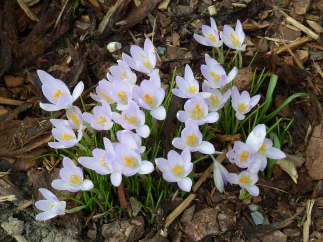 Erste Frühlingsboten im Garten und in Wald und Flur - Seite 2 00310