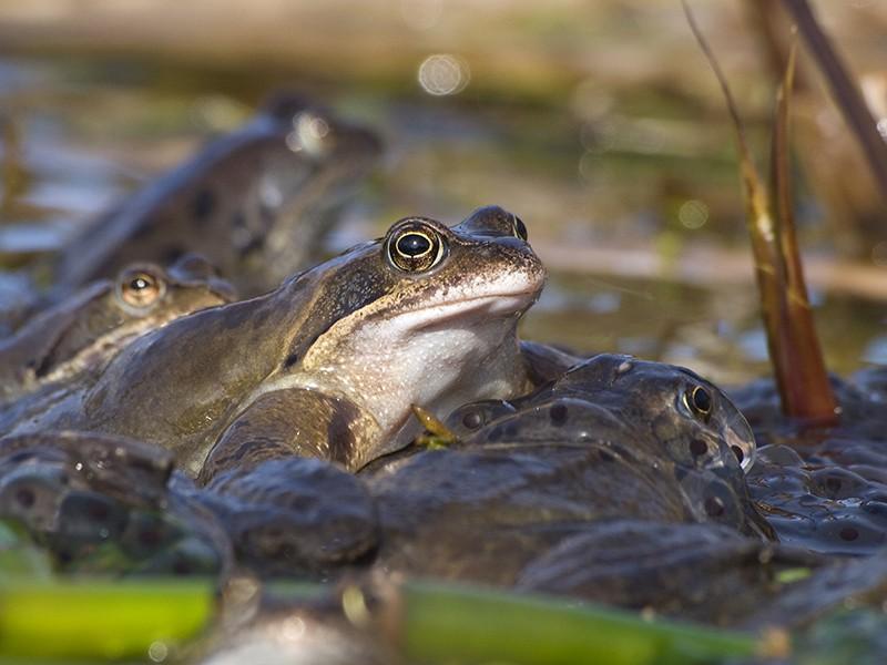 Les grenouilles 20100311