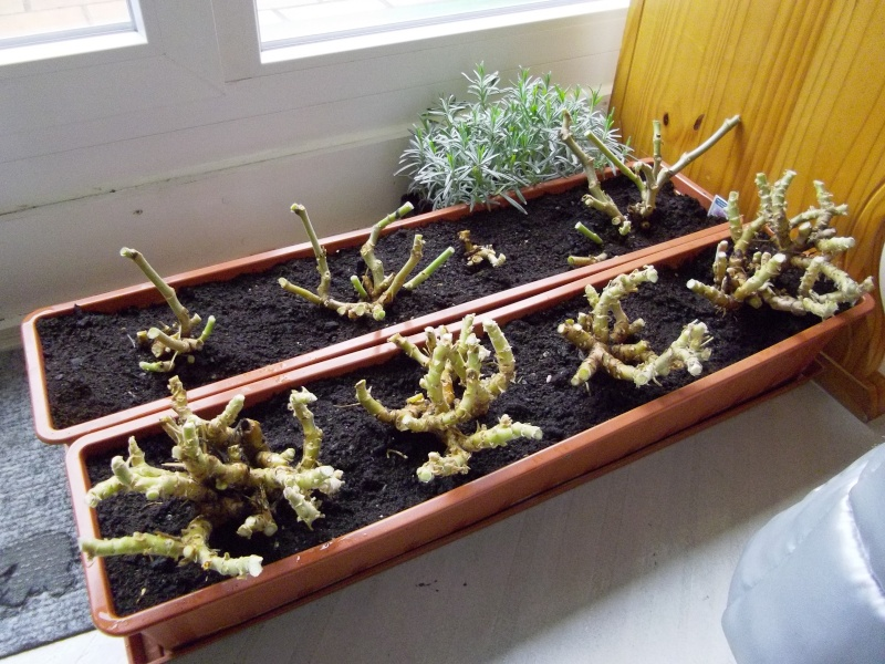 Pelargonium - Pelargonien - alle nichtsukkulenten Arten und Sorten - Aussaat - Stecklinge - Seite 2 Gerani10