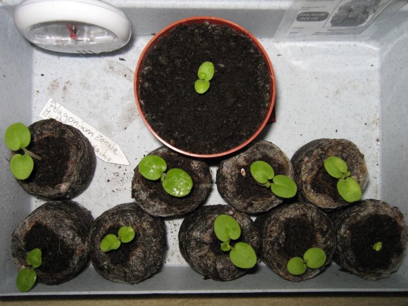 Pelargonium - Pelargonien - alle nichtsukkulenten Arten und Sorten - Aussaat - Stecklinge - Seite 6 Img_2814