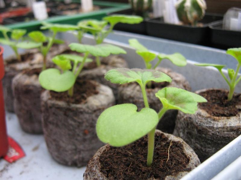 Pelargonium - Pelargonien - alle nichtsukkulenten Arten und Sorten - Aussaat - Stecklinge - Seite 6 Img_3112