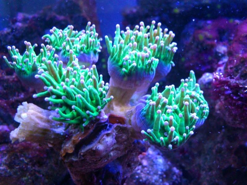 Probleme avec Euphyllia Glabrescens Picsar24