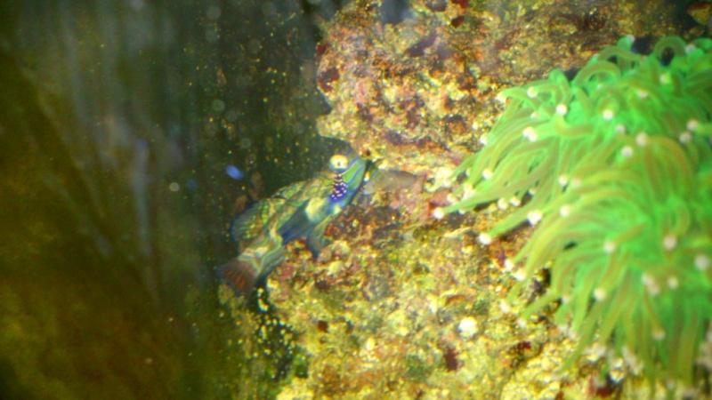 Mandarin (Synchiropus splendidus) en danger Picsar25