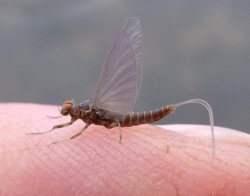 Photos d'insectes  P1010812