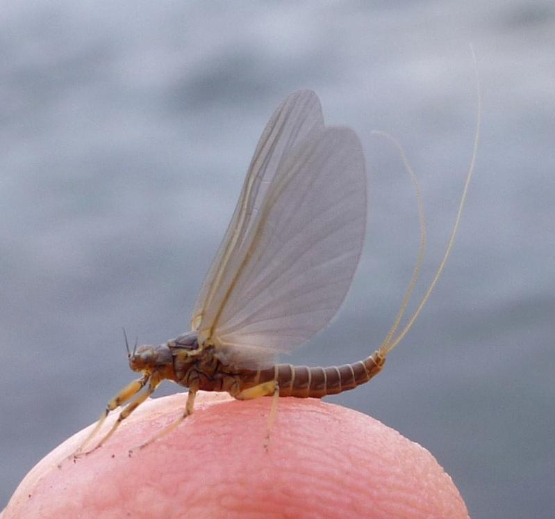Photos d'insectes  P1010814