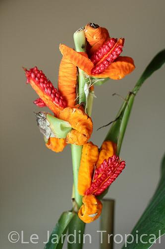 Quel est ce gingembre ? Hedychium (brachychilum) horsfieldii  84879710