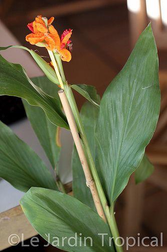 Quel est ce gingembre ? Hedychium (brachychilum) horsfieldii  Artfic10