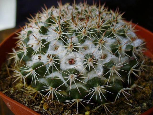 Mammillaria heyderi? New_un24